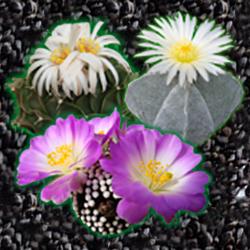 Семена кактусов