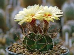 Семена Astrophytum