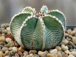 Семена Aztekium