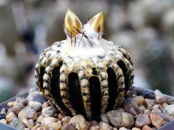 Семена Discocactus
