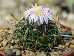 Семена Echinofossulocactus