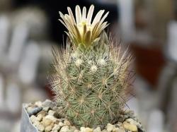 Семена Echinomastus