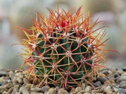Семена Ferocactus