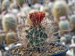 Семена Glandulicactus