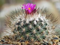 Семена Gymnocactus