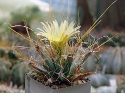 Семена Leuchtenbergia