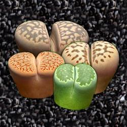 Семена литопсов