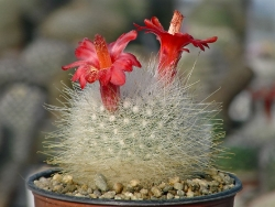 Семена Mamillopsis