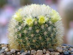 Семена Mammillaria