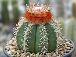 Семена Melocactus