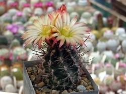 Семена Pyrrhocactus