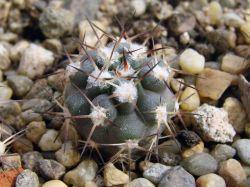 Acanthocalycium griseum