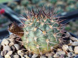 Acanthocalycium munitum DH 10