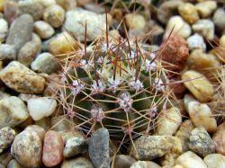 Acanthocalycium violaceum P 110a