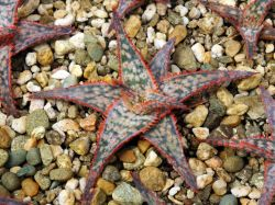 Aloe 'Bright Star'