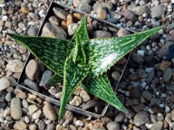 Aloe somaliense x 'Bright Star'