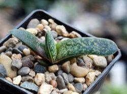 Aloe variegata x Gasteria ellaphieae