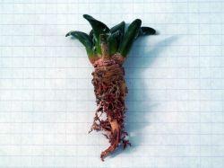 Ariocarpus trigonus KSM 646