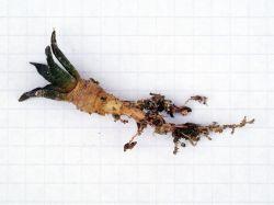 Ariocarpus fissuratus VM 248