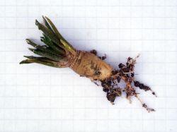 Ariocarpus kotschoubeyanus