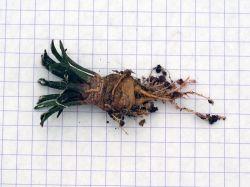 Ariocarpus kotschoubeyanus v. albiflorus