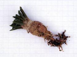 Ariocarpus kotschoubeyanus v. albiflorus PP 411