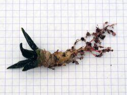 Ariocarpus retusus BKM 913