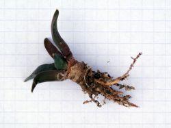 Ariocarpus retusus BKM 945