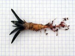 Ariocarpus trigonus v. elongatus VM 231