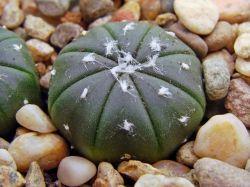 Astrophytum asterias f. nudum