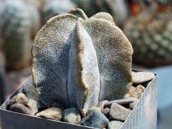 Astrophytum myriostigma v. potosinum P 466