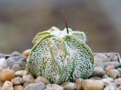 Astrophytum niveum P 270