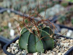Astrophytum senile v. aureum PP 471