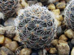 Aylostera brunescens WR 480