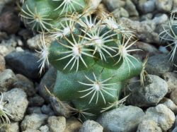 Coryphantha potosiana PAR 15