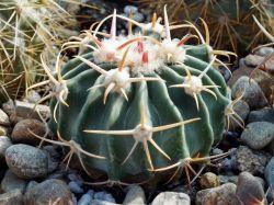 Echinocactus texensis LAPPIN 3