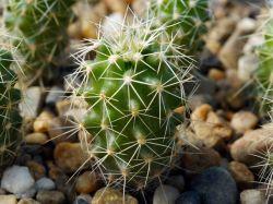 Echinocereus fendleri SB 134