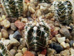 Echinocereus palmeri SB 184