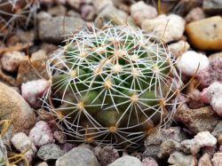 Echinofossulocactus anfractuosus N 86.003