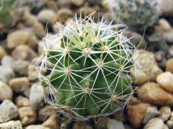 Echinofossulocactus caespitosus N 85.009