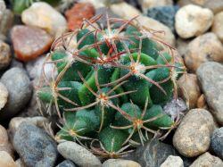 Echinofossulocactus coptonogonus PP 959