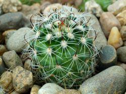 Echinofossulocactus crispatus, Cuchilla Hgo
