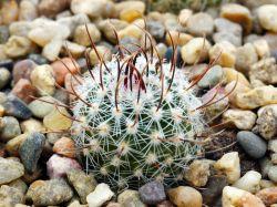 Echinofossulocactus dichroacanthus N 82.036