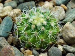 Echinofossulocactus dichroacanthus N 86.025