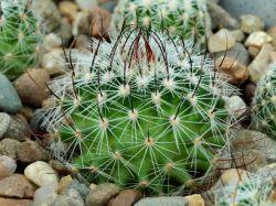 Echinofossulocactus erectocentrus L 738