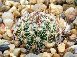Echinofossulocactus erectocentrus SB 1365