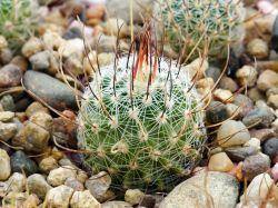 Echinofossulocactus erectocentrus SB 1883