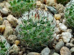 Echinofossulocactus erectocentrus SB 309