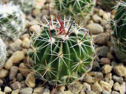 Echinofossulocactus gladiatus