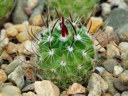 Echinofossulocactus grandicornis, Panarotto